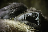 Sleeping Gorilla — Stock Photo