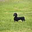 Stock Photo: Dachshund on the grass