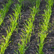 Sprouting grain — Foto de Stock