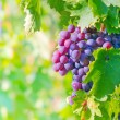Grape bunch — Stock Photo #21768015