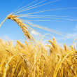 Golden wheat on a grain field — Stock Photo