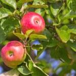 Apples on tree — Stock Photo #48542829