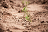 Photo of green fir-tree sprouts planted in soil — Stock Photo