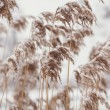 Photo of reed covered in snow — Stock Photo