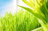 Shot of green grass growing on windowsill — Stock Photo