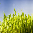Photo of green grass against deep blue sky — Stock Photo
