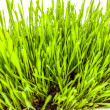 Photo from high point of fresh green grass growing in soil — Stock Photo