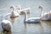 Flock of gooses on water — Stock Photo