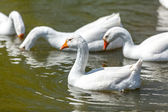 Photo of gooses swimming and diving on lake — Stock Photo