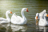 Gooses swimming on water — Stock Photo