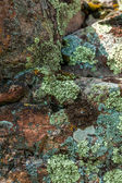 Photo of moss and lichen growing on stone at mountain — Stock Photo