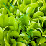 Photo of fresh green lettuce — Stock Photo #46565817