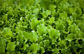 Photo of lettuce garden bed — Stock Photo