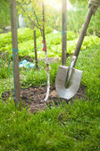Photo of tree being planted by shovel at sunny day — Stock Photo