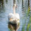 Beautiful swan tail on river — Stock Photo #50039017