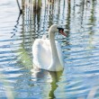 Lonely swan swimming on lake at sunny day — Stock Photo #50039255