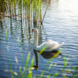Landscape of lake with white swan — Stock Photo #50039403