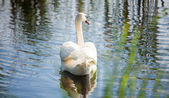 Beautiful swan tail on river — ストック写真