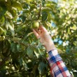 Woman picking green apple from tree — Stock Photo #50969803