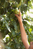 Photo of young girl reaching growing high apple — Stock Photo