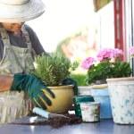 Senior gardener potting young plants in pots — Stock Photo #41911443