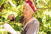 Old woman in the yard gardening — Stock Photo