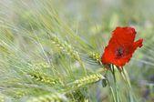 Lonely poppy — Stock Photo