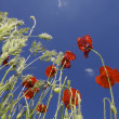 Poppies — Stock Photo #13152190