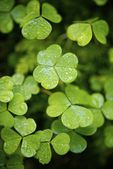 Clovers — Stock Photo