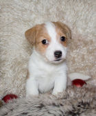 Puppy of Jack Russel Terrier — Foto de Stock