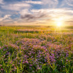 Flower meadow on sunrise — Stock Photo #13745305
