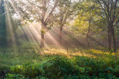 Sun rays in wood — Stock Photo