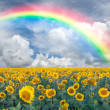 Landscape with sunflowers and rainbow — Stock Photo