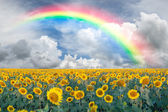 Landscape with sunflowers and rainbow — Stok fotoğraf