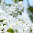 Branch of blossoming cherr — Stock Photo #18664577