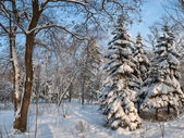 Tree snow covered in wood — Stock Photo