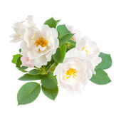 Dog rose flowers — Stock Photo