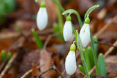 Close up spring snowdrop flowers — Stock Photo