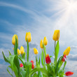 Tulips on blue sky background — Zdjęcie stockowe #22027237