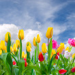 Spring landscape with tulip — Stock Photo #22027249