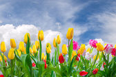 Spring landscape with tulip — Stock Photo