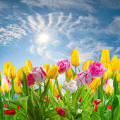 Landscape with tulip flowers — Stock Photo
