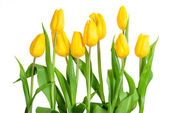 Yellow tulips isolated — Stock Photo