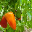 Ripe sweet peppers in the garden - Stock Photo