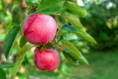 Red apples ready to be harvested — Stock Photo