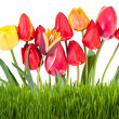 Stock Photo: Yellow and red tulips with grass