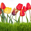 Yellow, red and pink tulips — Stock Photo