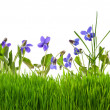 Violets flowers in grass isolated — Stock Photo