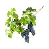 Blå druvor på gren — Stockfoto