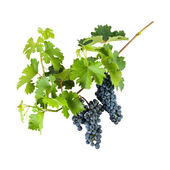 Blue grapes on branch — Stock Photo